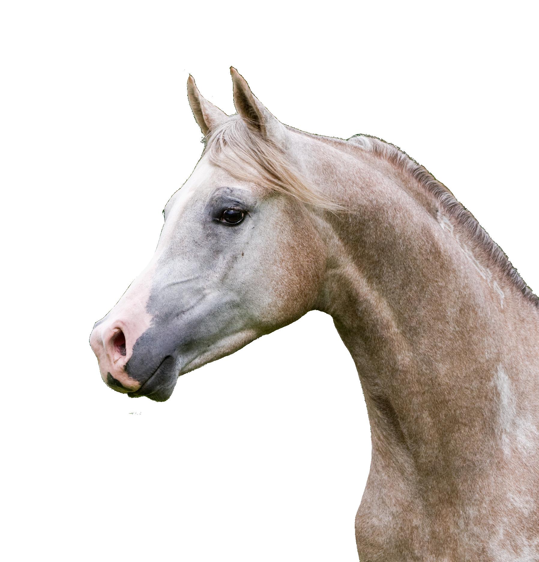 Carevallo Pferd